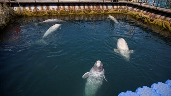 Russia agrees to free nearly 100 orcas, belugas kept in 'whale prison'
