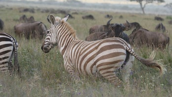 Incredible photographs show rare 'blond' zebra thriving in the wild