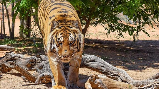 Bengal tiger attacks former Las Vegas illusionist at Arizona wildlife sanctuary