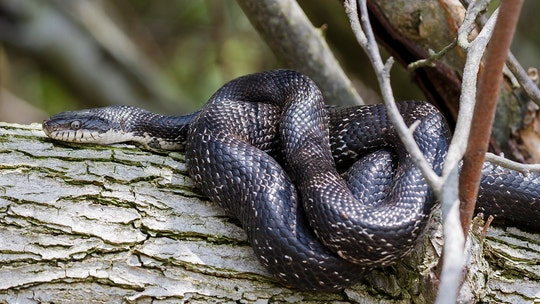 Huge rat snakes fight over female in North Carolina, rare video shows