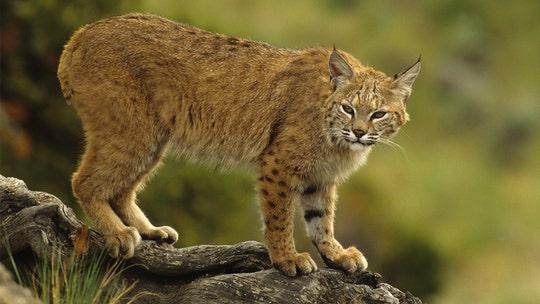 Bobcats caught on camera running amok in Utah neighborhoods