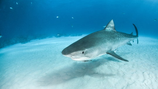 Large tiger shark circles, pulls down human body in water off Hawaii Island coast, thwarting rescue efforts