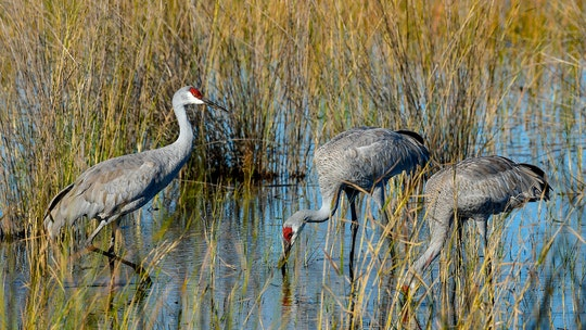 100-year-old Florida man dies in multivehicle crash after drivers stop for sandhill cranes
