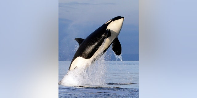 In this Jan. 18, 2014, file photo, an endangered southern resident female orca leaps from the water while breaching in Puget Sound, west of Seattle.