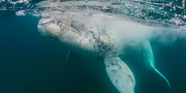 An albino gray whale (not pictured here) was recently filmed off the coast of Baja California and may be the cetacean celebrity known as Milk Gallon.