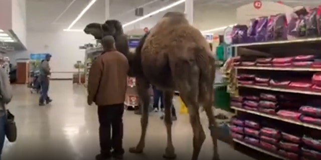 A man in Muskegon, Mich., took his pet camel Jeffrey on a trip to their local PetSmart in order to get the animal more accustomed to traveling in his trailer.