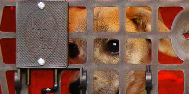 A stray puppy named Apple sits in a crate on a truck awaiting a journey to New York City on Wednesday, April 3, 2019, in Starkville, Miss. Apple is the 100,000th animal relocated to the North by a transportation program operated by the American Society for the Prevention of Cruelty to Animals. The organization moves strays and other unwanted animals from Southern states to areas including New York City, where demand is high for animals and Apple could be adopted in just a few days. (AP Photo/Jay Reeves)