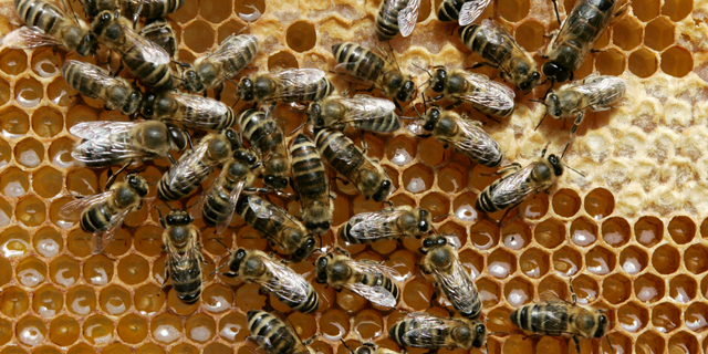 FILE - In this May 21, 2008 file photo, honey bees sit on a honeycomb in Germany. The German state of Bavaria is set to accept in large part a plan by environmentalists to save bees and protect biodiversity, averting a referendum on the issue. Leaders of Bavaria's two governing parties _ both traditional allies of farmers, who have criticized the proposal _ said on Wednesday. April 3, 2019, that they would back the plan in the state legislature. (AP Photo/Heribert Proepper, File)
