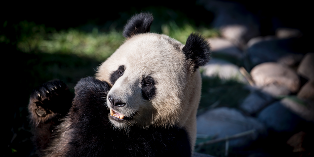 The panda Xing Er in the new enclosure in Copenhagen Zoo, Wednesday, April 10, 2019 - file photo. (Mads Claus Rasmussen/Ritzau Scanpix via AP)
