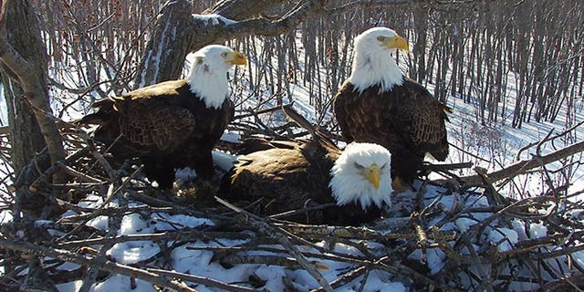 The nesting bald eagle trio. (Photo courtesy of Stewards of Upper Mississippi River Refuge)
