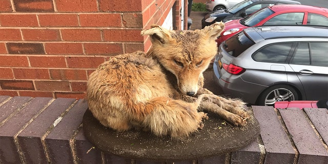 The RSPCA said the fox had been moved around the neighborhood by someone.