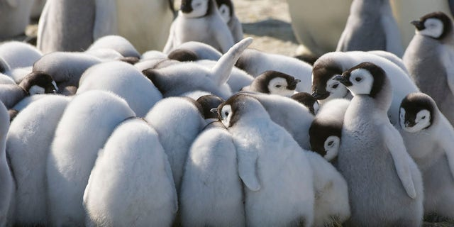 Scientists found that the distance of influence the penguin feces has depends more on the number of animals in the colony, not the region's temperature or humidity.(Photo by Wolfgang Kaehler/LightRocket via Getty Images)