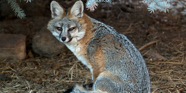 A woman was bitten twice by a rabid gray fox in Blairstown, N.J., on Saturday, according to Animal Control officials. The fox killed one of her cats and the woman's daughter tried to kill it by throwing an ax at it and hitting it with a shovel. (iStock)