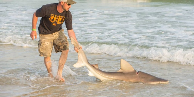 The car belt was so tight on the bull shark that even after it was cut off, it left an indentation on the shark's body.