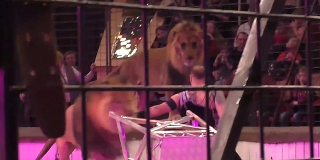 Moment of lion attack in Lugansk circus.