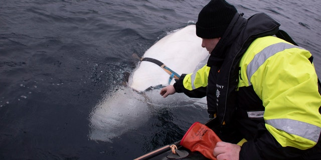 Joergen Ree Wiig tries to reach the harness attached to a beluga whale before the Norwegian fishermen were able to remove the tight harness, off the northern Norwegian coast Friday, April 26, 2019.