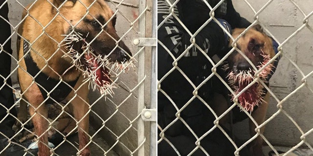 K-9 officer Odin received a face-full of porcupine quills while pursuing a suspect over the weekend. Both the suspect and the porcupine remain at large, police said.