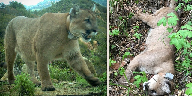 Mountain lion found dead in Santa Monica Mountains may have been poisoned, researchers say