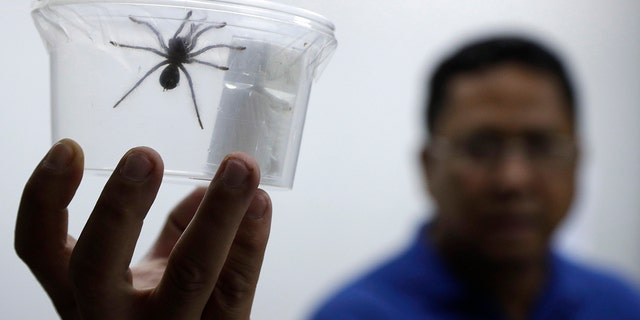 Philippine customs officials found 757 tarantulasinside gift-wrapped boxes of cookies and oatmeal at a mail exchange center nearManila's international airport on Monday. (AP Photo/Aaron Favila)