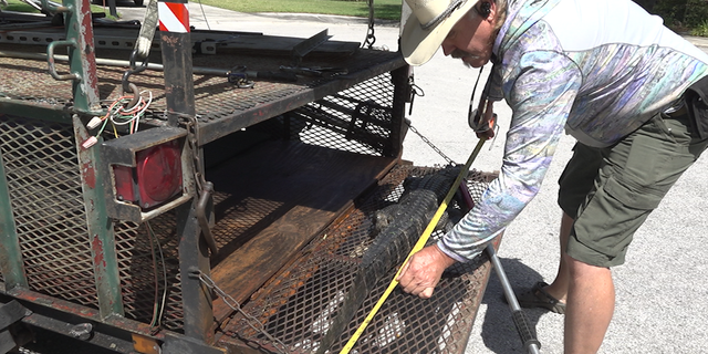 State alligator trapper Robb Upthegrove measures a nuisance alligator captured in Tampa, Fla.