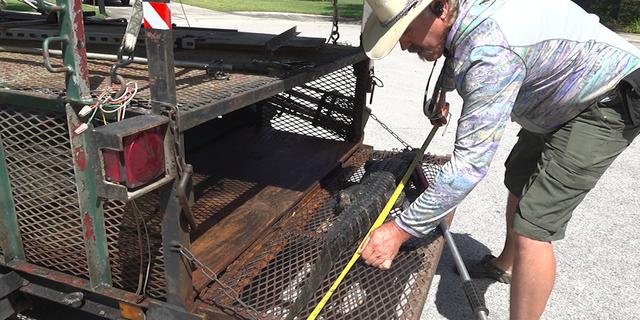 State alligator trapper Robb Upthegrove measures a nuisance alligator captured in Tampa, Fla.