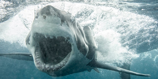 A photographer got this JAWS-some shot of a huge great white charging his shark cage underwater. Using a Canon 5d Mark IV with a 50 mm 1.4 lens, Kane Overall was able to get this incredible image of the apex predator. (Credit: KANE OVERALL -  MAGNUS NEWS)