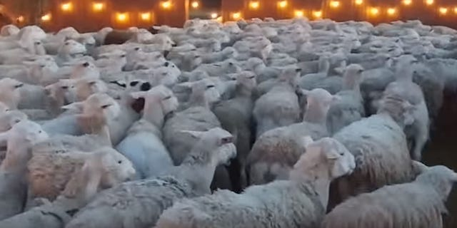 The town of Lincoln, Calif.,uses thousands of sheep and goats to prepare for the fire season by cutting down the vegetation.<br>