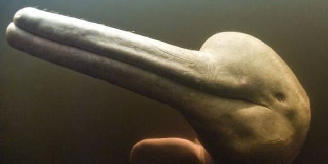 Brazil's Araguaian river dolphin can make up to 237 distinct sounds.
