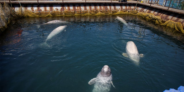 A view shows a facility where nearly 100 whales, including orcas and beluga whales, are held in cages, during a visit of scientists representing explorer and founder of the Ocean Futures Society Jean-Michel Cousteau in a bay near the Sea of Japan port of Nakhodka in Primorsky Region, Russia April 7, 2019. Reuters.