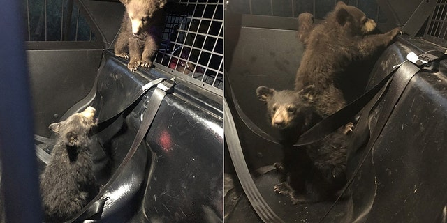 Westlake Legal Group bear-cubs-Arizona-Dept-of-Public-Safety Bear cubs rescued by Arizona trooper after mother killed in car crash Travis Fedschun fox-news/us/us-regions/southwest/arizona fox-news/us/crime/police-and-law-enforcement fox-news/science/wild-nature fox news fnc/us fnc article 12f5e553-34ac-5281-8f45-d9cc5e4b79c0