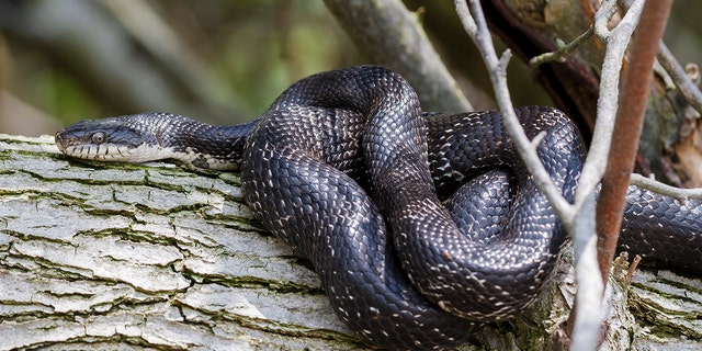 Rat snakes are non-venomous and typically are found in the fields and woodlands in the U.S. According to the North Carolina Wildlife Resources Commission, rat snakes mate in late May and early June. (Stock image)