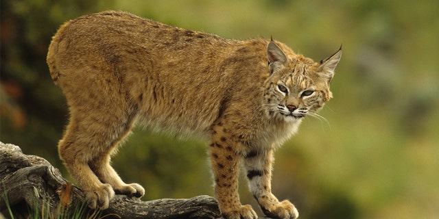 A bobcat, like a one graphic above, quickly transient a enclosing after vandals cut a thatch off, military said.