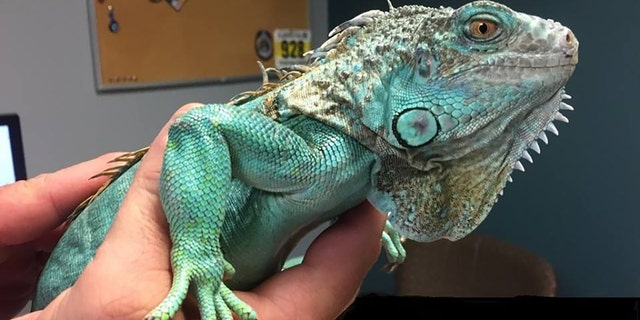 Copper, a bright teal iguana with green flecks on its skin, was examined by veterinarians for injuries.