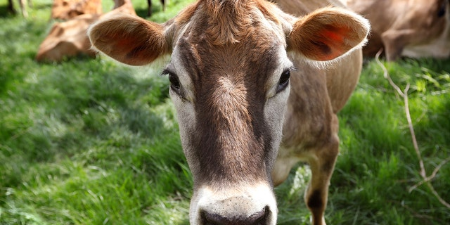 FILE - Bovine TB primarily affects the animal's respiratory tract, but can also spread to other parts of the body, according to MDARD's website. (Associated Press)