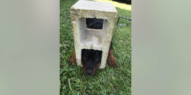 "Fifi, the 6-month-old Rottweiler, was reportedly ""sniffing around her residence"" in the Hastings area in St. Johns County when she became stuck in one of the cinder block holes."