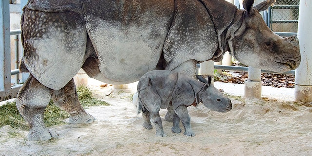 """This is the first baby for the rhino's mother Akuti, which means """"Princess"""" in Hindi.The gender of the baby rhino is unknown at this point because the veterinary team has not been able to do a neonatal exam yet."""