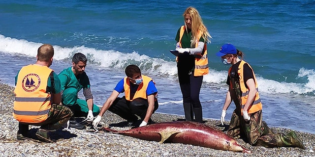 Archipelagos Institute of Marine Conservation members inspect a dead dolphin at a beach on Samos island in March.