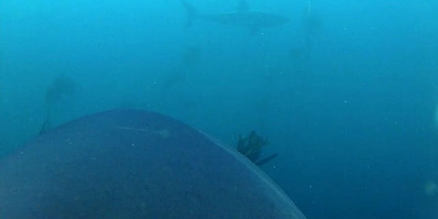 One of the great white sharks in the experiment saw another great white shark, and the video camera captured the encounter.