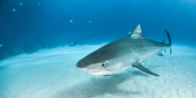 According to a new study, juvenile tiger sharks eat songbirds such as sparrows, woodpeckers and doves. Out of 105 young tiger sharks that scientists studied, 41 had bird remains in their stomachs. (Stock image)
