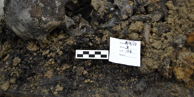 A skull found at the First Baptist Church of Philadelphia's burial ground. Credit: Allison Grunwald