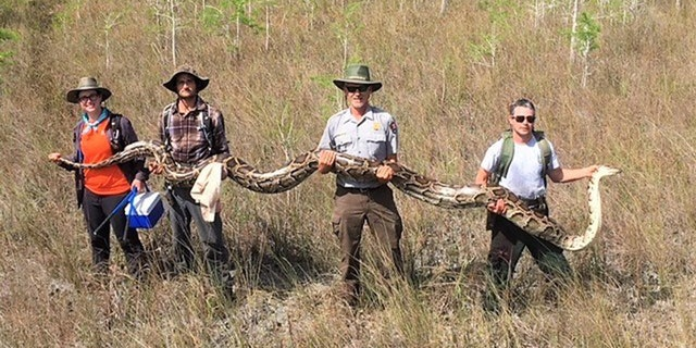 The record setting python isheld by a team of four hunters who captured the largest female snake at Big Cypress National Preserve.
