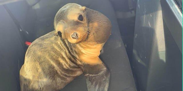 Westlake Legal Group sea-lion1 Sea lion 'in distress' rescued in California, receives police escort in cute photos Nicole Darrah fox-news/us/us-regions/west/california fox-news/us/crime/police-and-law-enforcement fox-news/science/wild-nature/mammals fox news fnc/us fnc article 663824e8-9cd8-50e9-ae8b-1624c0781da6