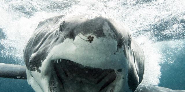 The image was taken on March 3 from inside a shark cage by photographer Kane Overall. Kane was just a few feet from the 11-foot female shark. (Credit: KANE OVERALL -  MAGNUS NEWS)