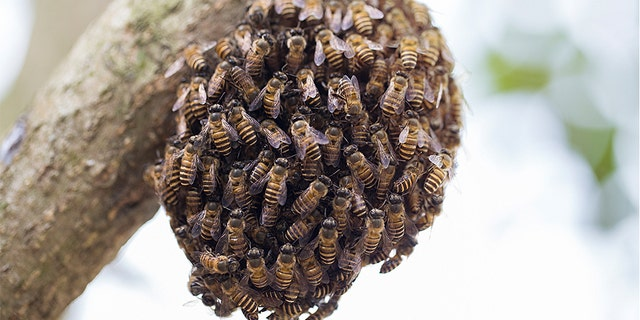 A swarm of honeybees can be frightening to some. (iStock)