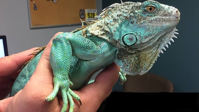 Injured iguana still in protective custody a month after owner swung it at an Ohio restaurant manager