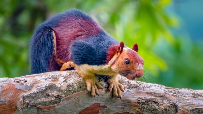 Amazing giant multicolored squirrels caught on camera, become Internet sensation