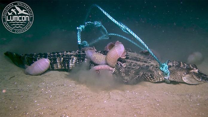 Louisiana scientists drop dead alligator into sea, watch as it's devoured by giant 'pill bugs'