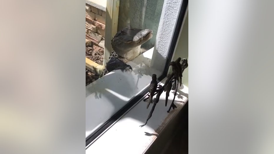 Alligator Surprises Florida Homeowner Scratches Up Windows And Door