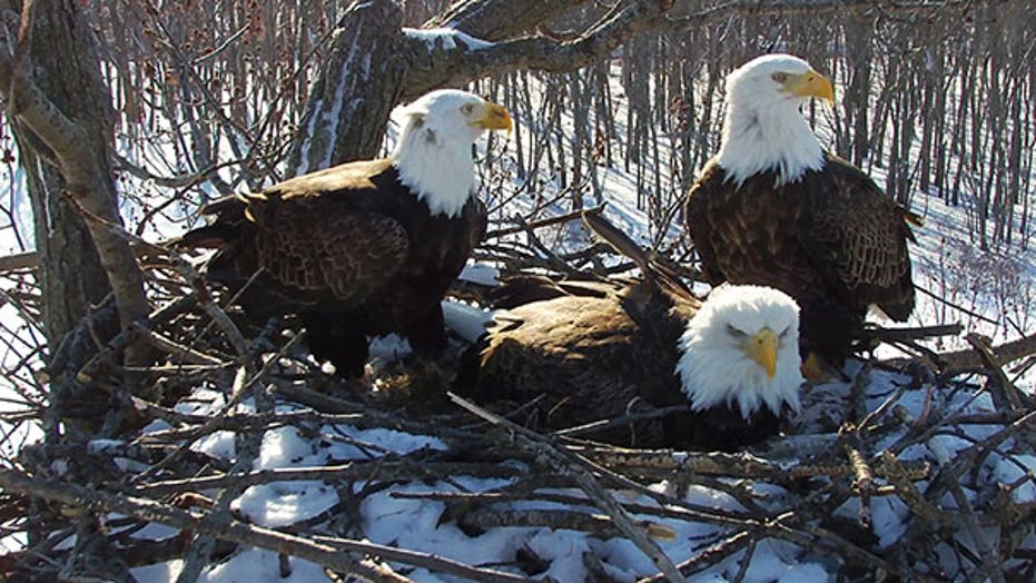 A Bald Eagle Trio Of Two Males And A Female Is Successfully Raising