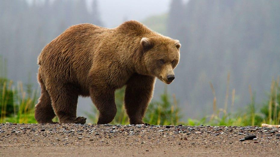 Alaska man survives brown bear mauling